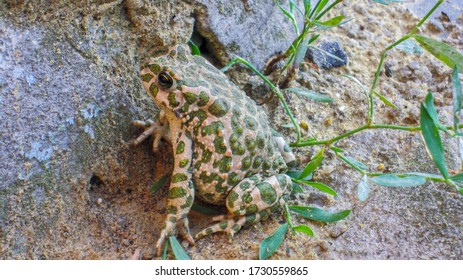 spotted earthen toad sits on stones, wildlife in summer