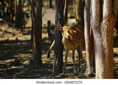 Spotted fawn red deer in wild