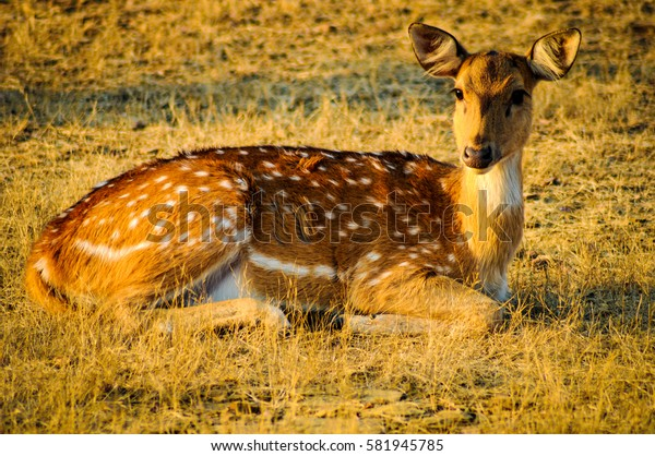 Spotted female deer taking sun bath
