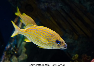 Spotted Fish - A photograph of two yellow spotted fish swimming in an aquarium.