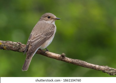Spotted Flycatcher (Muscicapa striata) on the branch