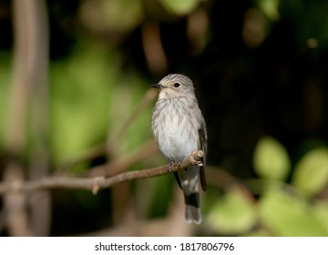 spotted flycatcher (Muscicapa striata) shot very close-up in soft morning light. Sits on a branch and looks into the camera lens