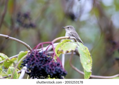The spotted flycatcher (Muscicapa striata) in winter plumage was shot with a large flycatcher on a branch with black elderberries