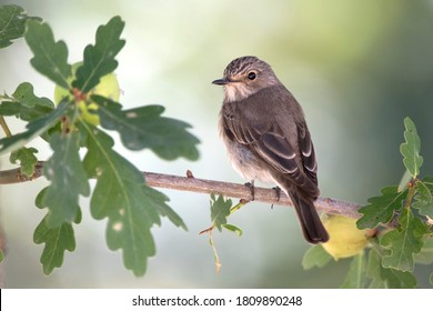 Spotted flycatcher on oak branch. The spotted flycatcher (Muscicapa striata) is a small passerine bird in the Old World flycatcher family.