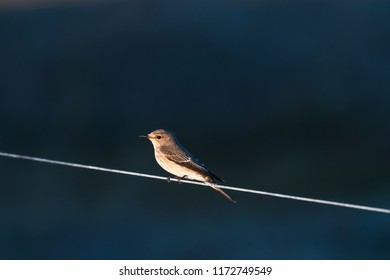 Spotted Flycatcher sitting watching on a line