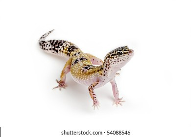 Spotted Gecko