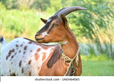 Spotted goat with big horns and yellow eyes grazing in a meadow. Funny goat on a leash eats a green grass. Livestock. Goat grazing on pasture.  Animal portrait. Horny goats eating on a grass field