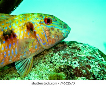 spotted goat fish