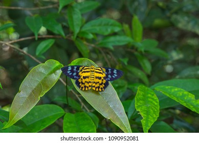 The spotted golden-looper moth (dysphenia sagana) Beautiful butterfly