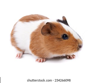 spotted guinea pig on a white background