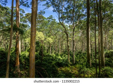 Spotted gum forest in the sunlight.  Australia