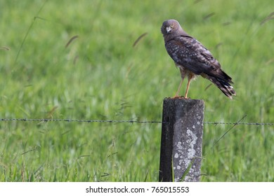 Spotted harrier (Circus assimilis) perched on a barbed wire fence in farmland. Atherton, Queensland, Australia.