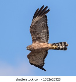 A Spotted Harrier gliding majestically through the Australian sky.