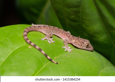Spotted House Gecko (Gekko monarchus) in Taman Negara national park, Malaysia