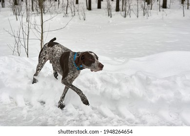 Spotted hunting dog in winter forest walks through the snow