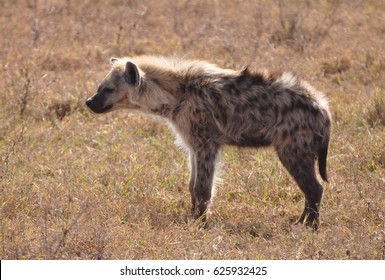 Spotted hyena with back light