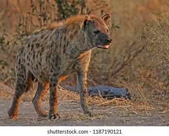 Spotted Hyena, Botswana, Africa