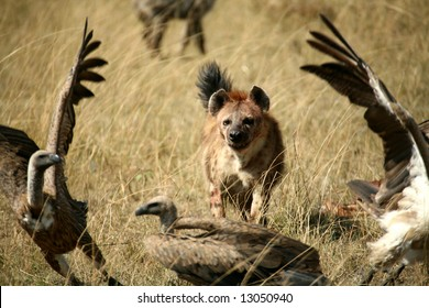 Spotted Hyena chasing unwelcome vultures from its dinner (Masai Mara; Kenya)