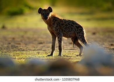 Spotted hyena, Crocuta crocuta, angry animal near the water hole, beautiful evening sunset. Animal behaviour from nature, wildlife in Etosha, Namibia, Africa. Hyena in savannah habitat.