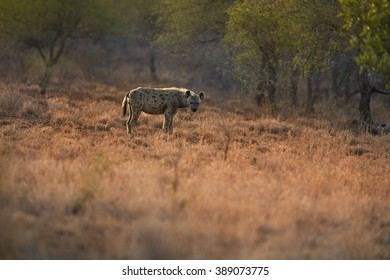 Spotted hyena, Crocuta crocuta in backlight in the landscape of Kruger National Park, South Africa.