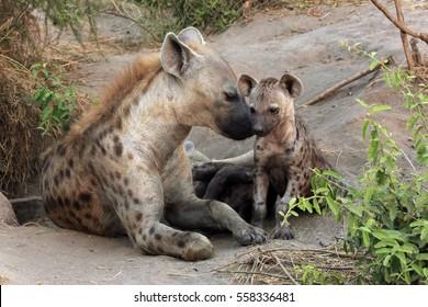 Spotted Hyena (Crocuta crocuta) with Cubs. Ishasha, Queen Elisabeth, Uganda