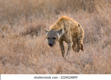Spotted Hyena (Crocuta crocuta) in Kruger national park, South Africa.