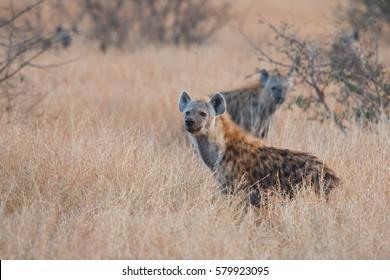 Spotted hyena (Crocuta crocuta), Kruger Park, South Africa
