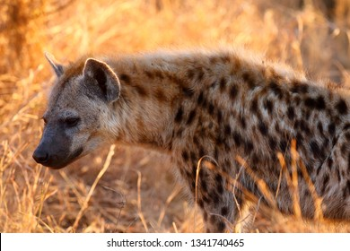 The spotted hyena (Crocuta crocuta), also the laughing hyena. Hyena portrait with yellow background.portrait of a big scavenger in the setting sun with gold yellow background.
