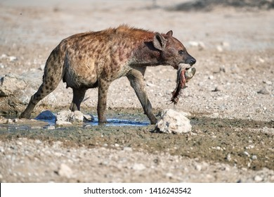 Spotted Hyena, crocuta crocuta on a rocky plain, carrying  hoof in its mouth. Close up, isolated hyena with carcass at waterhole. Side view. Photo Safari in Kgalagadi transfrontier park, Botswana.