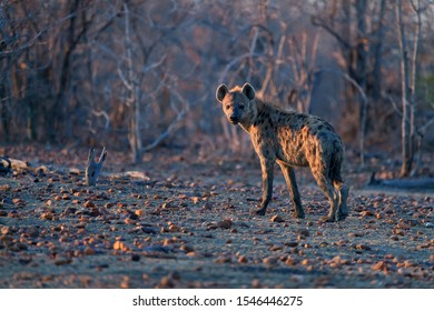 Spotted Hyena, Crocuta crocuta on a rocky plain in early morning light, looking at camera. Close up, low angle wildlife photography. Photo safari adventure on the plains of Mana Pools, Zimbabwe.