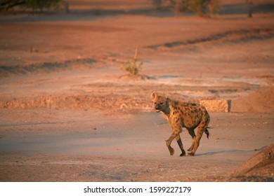 Spotted Hyena, Crocuta crocuta on a rocky plain lit by in early morning sun. Close up, low angle wildlife photography. African predator. Walking safari adventure. Plains of Mana Pools, Zimbabwe.