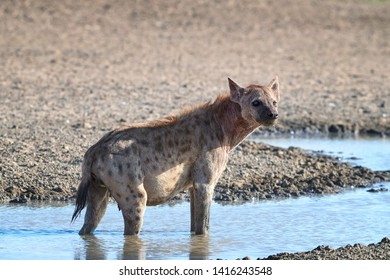 Spotted Hyena, crocuta crocuta standing in the water of waterhole. Close up, side view. Photo Safari in Kgalagadi transfrontier park, Polentswa, Botswana.