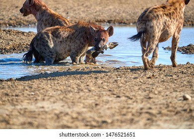 Spotted Hyena, crocuta crocuta standing in the water of the waterhole, carrying  hoof in its mouth. Close up, three hyenas at waterhole. Side view. Photo Safari in Kgalagadi park, Botswana.