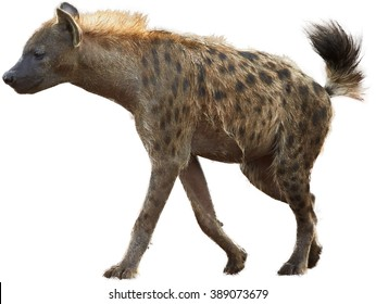 Spotted hyena, Crocuta crocuta with upright mane and tale isolated on white background. Side view.