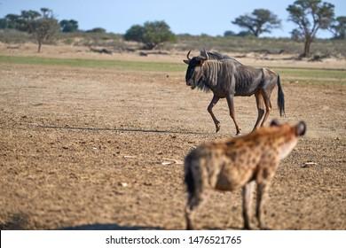 Spotted Hyena, crocuta crocuta watching wildebeests. Close up, side view. Photo Safari in Kgalagadi transfrontier park, Polentswa, Botswana.