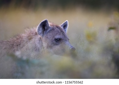 Spotted hyena, Crocuta crocuta. Wild animal portrait, atmospheric view on hyena through grass. Wildlife photography on self drive safari, Okavango delta, Botswana.