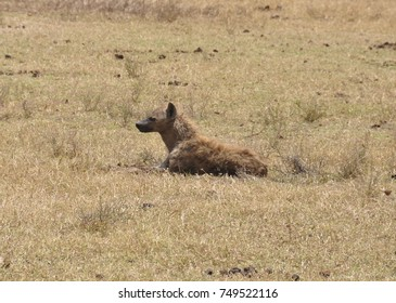 Spotted hyena in a dry environment