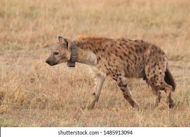 Spotted hyena with GPS collar, Masai Mara National Park, Kenya.