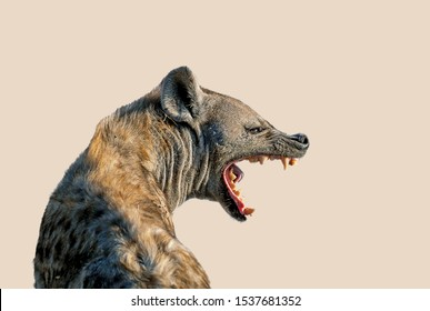 The Spotted hyena isolated on a clear  beige color background. It's turning its head in profile and open the mouth showing teeth in threat signal. Genus crocuta. Africa.