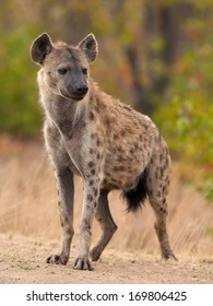 Spotted Hyena Kruger National Park safari