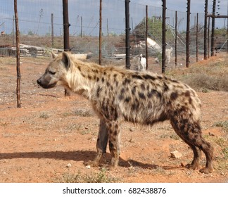 Spotted hyena looking
