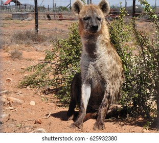 Spotted hyena looking forward
