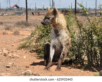 Spotted hyena looking left