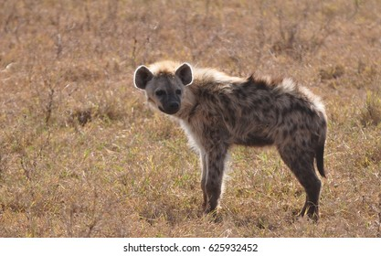 Spotted hyena looking at us