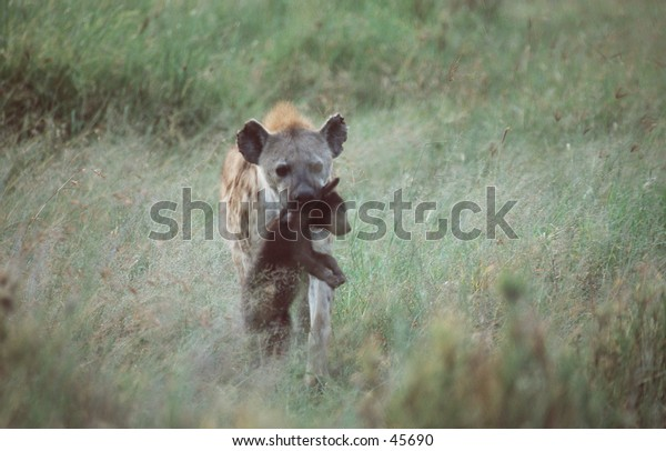Spotted Hyena Mother with her Cub