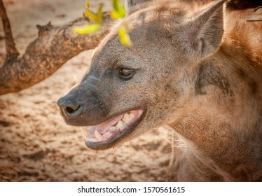 Spotted hyena panting in Kruger National Park South Africa