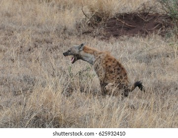 Spotted hyena peeing and yawning