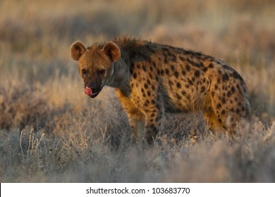 Spotted hyena portrait at first light  (Crocuta crocuta), also known as the laughing hyena or tiger wolf