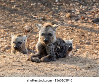 A Spotted Hyena pup in Southern African savanna
