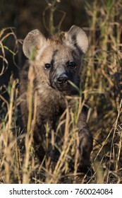 Spotted hyena puppy with cute face hiding in grass in early morning light